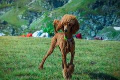 Bello cane che posa per il ritratto fotografie stock libere da diritti