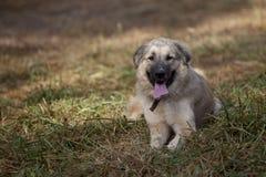 Bello cane che si rilassa nel campo del pascolo immagini stock libere da diritti