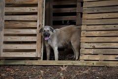 Bello cane che sta nella stalla di legno del granaio fotografia stock libera da diritti