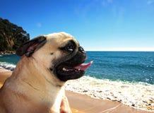 Cane del carlino in una spiaggia immagine stock