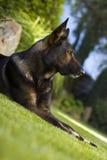 Bello cane del giardino Fotografie Stock Libere da Diritti