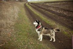 Bello cane del husky in automobile immagine stock libera da diritti