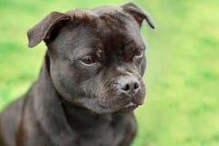 Bello cane della razza di Staffordshire bull terrier, colore scuro della tigre con lo sguardo malinconico Ritratto alto vicino su fotografie stock libere da diritti