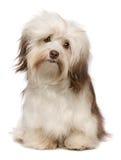 Bello cane di Havanese del cioccolato Fotografie Stock