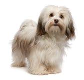 Bello cane di Havanese del cioccolato Fotografia Stock