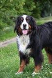 Bello cane di montagna di Bernese Fotografie Stock