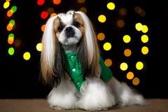 Bello cane di shih-tzu nel rivestimento verde e nel bokeh fotografie stock libere da diritti