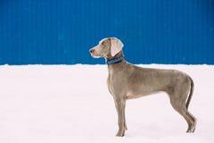 Bello cane di Weimaraner che sta nella neve al giorno di inverno Grande cane Breds per cercare Immagini Stock Libere da Diritti