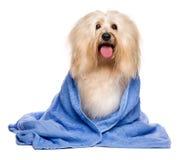 Bello cane havanese rossastro bagnato avvolto in un asciugamano blu immagine stock libera da diritti
