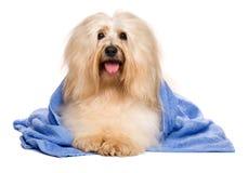 Bello cane havanese rossastro dopo il bagno che si trova in un asciugamano blu immagini stock