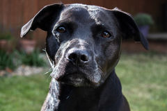 Bello cane nero brillante lucido dell'incrocio di Labrador Staffordshire bull terrier con gli occhi tristi Immagine Stock Libera da Diritti