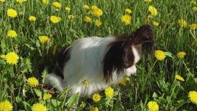 Bello cane Papillon che si siede sul prato inglese verde con i denti di leone e che mangia il video di riserva del metraggio dell stock footage