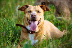 Bello cane rosso che si trova nell'erba Fotografia Stock