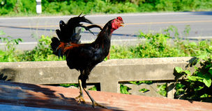 Bello canto della gallina del pollo sul tetto Fotografia Stock Libera da Diritti