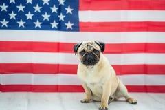 Bello carlino beige del cucciolo sui precedenti della bandiera americana sulla festa dell'indipendenza Fotografie Stock