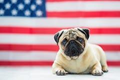 Bello carlino beige del cucciolo sui precedenti della bandiera americana sulla festa dell'indipendenza Fotografie Stock Libere da Diritti