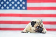 Bello carlino beige del cucciolo sui precedenti della bandiera americana sulla festa dell'indipendenza Immagini Stock Libere da Diritti