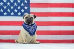 Bello carlino beige del cucciolo sui precedenti della bandiera americana sulla festa dell'indipendenza Immagine Stock