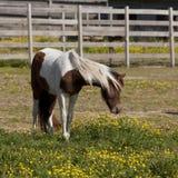 Bello cavallino del pinto Immagine Stock Libera da Diritti