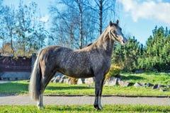 Bello cavallino di lingua gallese dell'acaro degli agrumi che posa nel posto piacevole fotografie stock libere da diritti