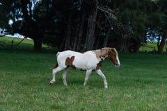 Bello cavallo ad un ranch del cavallo in Kohala sulla grande isola delle Hawai Fotografie Stock