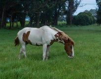 Bello cavallo ad un ranch del cavallo in Kohala sulla grande isola delle Hawai Fotografia Stock Libera da Diritti
