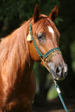 Bello cavallo arabo con la capezza piacevole di manifestazione Fotografia Stock