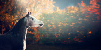 Bello cavallo arabo con la testa di bianco sul fondo meraviglioso della natura fotografia stock libera da diritti