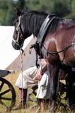 Bello cavallo arabo marrone Immagine Stock