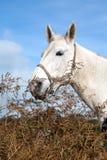 Bello cavallo bianco Immagine Stock