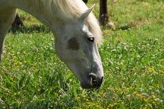 Bello cavallo bianco fotografie stock