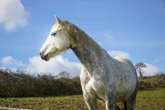 Bello cavallo bianco, giumenta, dietro il recinto di filo metallico bardbed sul pendio di collina verde, cielo blu Fotografia Stock