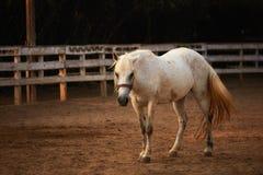 Bello cavallo bianco sulle sabbie di un controllo fotografie stock libere da diritti
