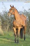 Bello cavallo del Brown Immagini Stock Libere da Diritti