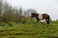 Bello cavallo del cavallino sul prato verde fotografia stock