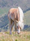 Bello cavallo del haflinger nelle alpi/montagne in Tirolo Immagine Stock