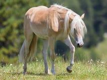 Bello cavallo del haflinger nelle alpi/montagne in Tirolo Immagini Stock Libere da Diritti