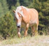 Bello cavallo del haflinger nelle alpi/montagne in Tirolo Fotografia Stock Libera da Diritti