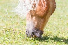 Bello cavallo del haflinger nelle alpi/montagne in Tirolo Fotografie Stock