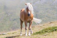 Bello cavallo del haflinger nelle alpi/montagne in Tirolo Fotografia Stock