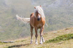Bello cavallo del haflinger nelle alpi/montagne in Tirolo Fotografie Stock Libere da Diritti