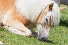 Bello cavallo del haflinger nelle alpi/montagne in Tirolo Immagini Stock