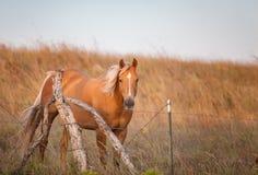 Bello cavallo del palomino Fotografia Stock Libera da Diritti