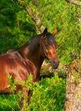 Bello cavallo del trakehner vicino all'albero Immagini Stock Libere da Diritti