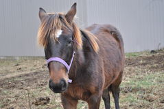 Bello cavallo dell'azienda agricola di Brown Fotografie Stock Libere da Diritti