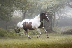 Bello cavallo della pittura che galoppa in una foresta in una mattina nebbiosa fotografia stock