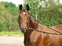 Bello cavallo della razza Fotografia Stock