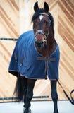 Bello cavallo di baia in cavallo-copertura Fotografie Stock