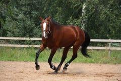 Bello cavallo di baia che galoppa al campo Fotografie Stock