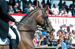 Bello cavallo di dressage di sport Fotografia Stock Libera da Diritti